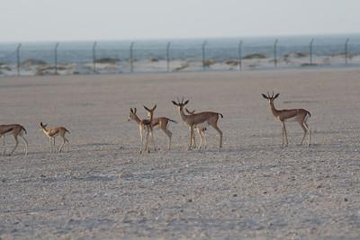 IMG_7119_Arabian Oryx_011