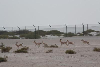 IMG_7374_Arabian Oryx_005