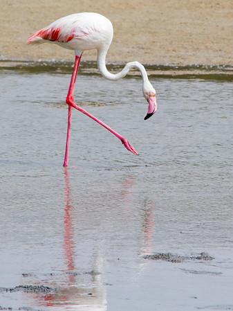 IMG_8066_Flamingoes_118 PS