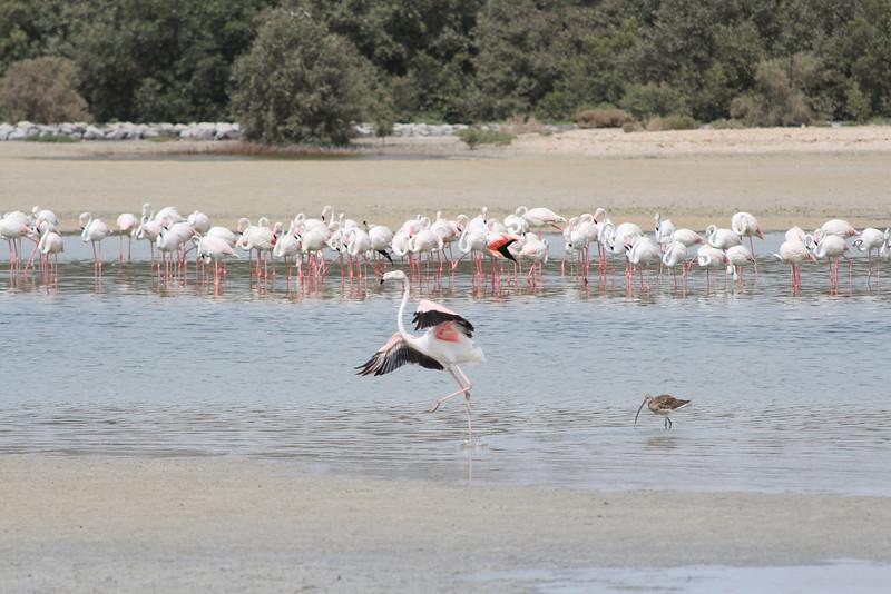 IMG_7962_Flamingoes_014