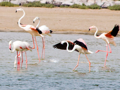 IMG_8087_Flamingoes_139 PS