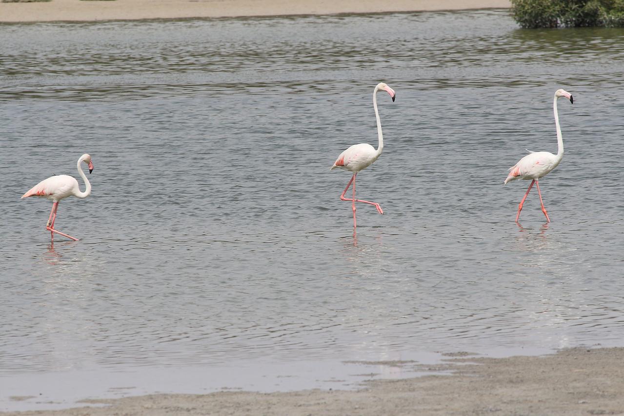 IMG_8010_Flamingoes_062