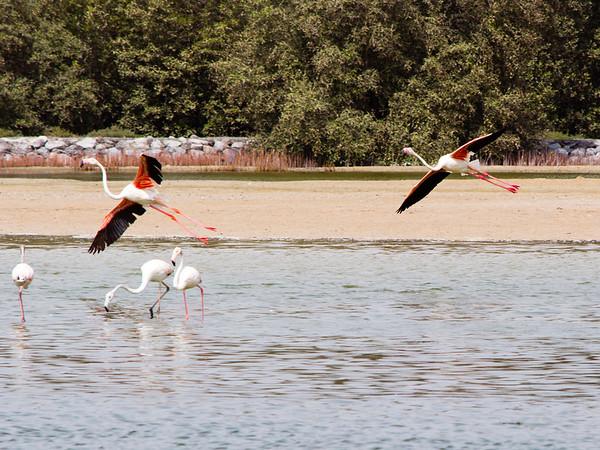 IMG_8069_Flamingoes_121 PS