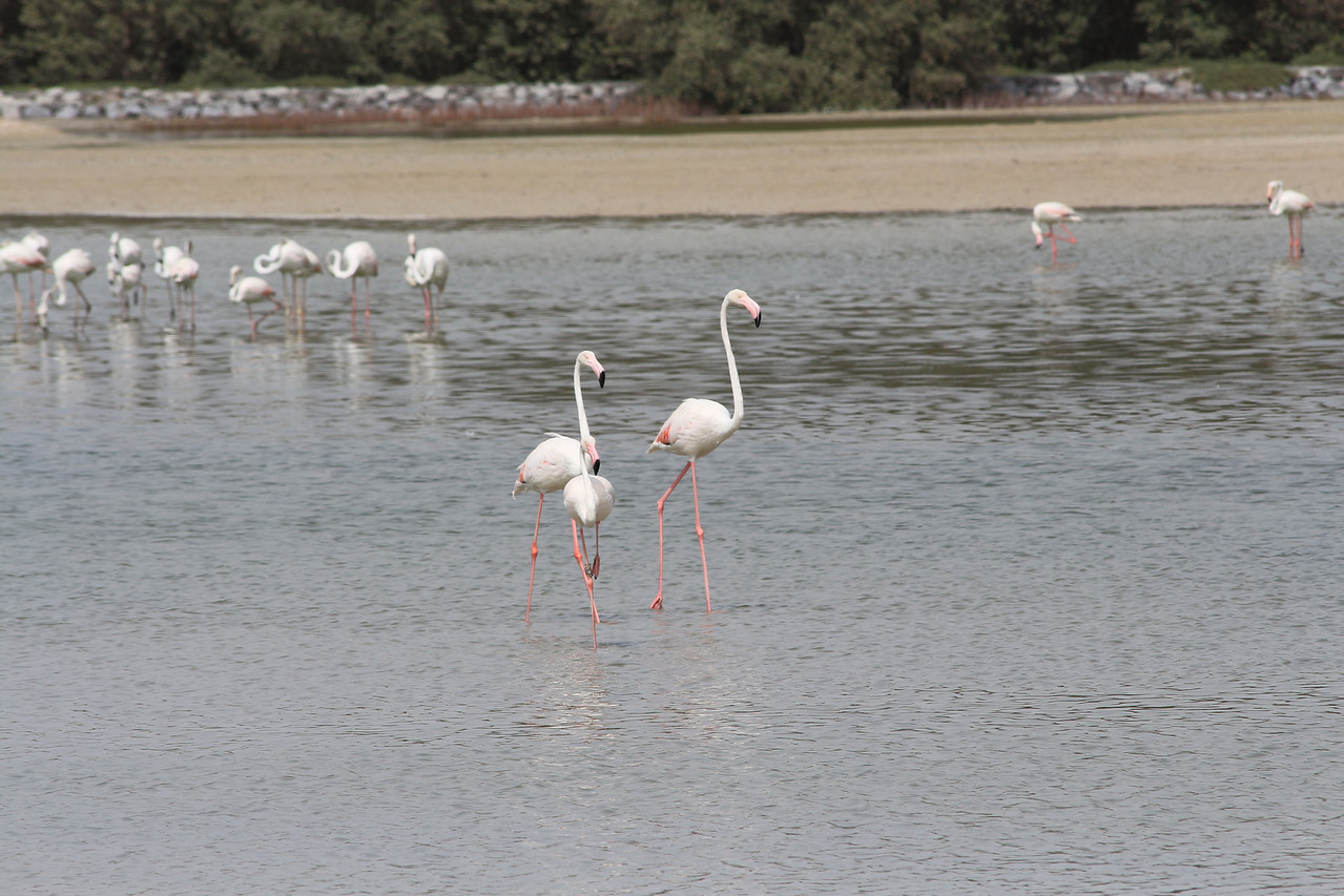 IMG_8003_Flamingoes_055