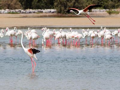 IMG_8063_Flamingoes_115 PS