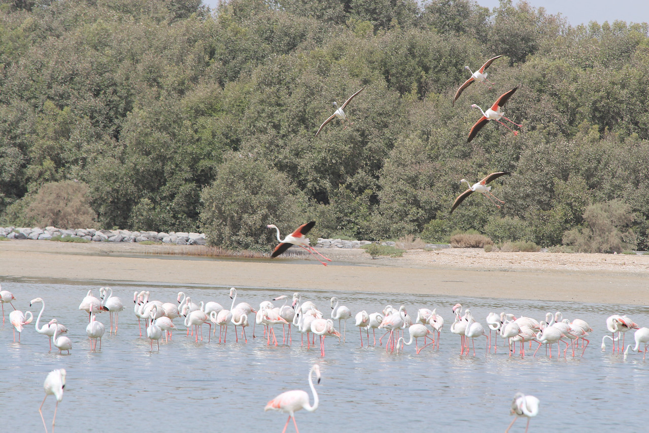 IMG_8084_Flamingoes_136