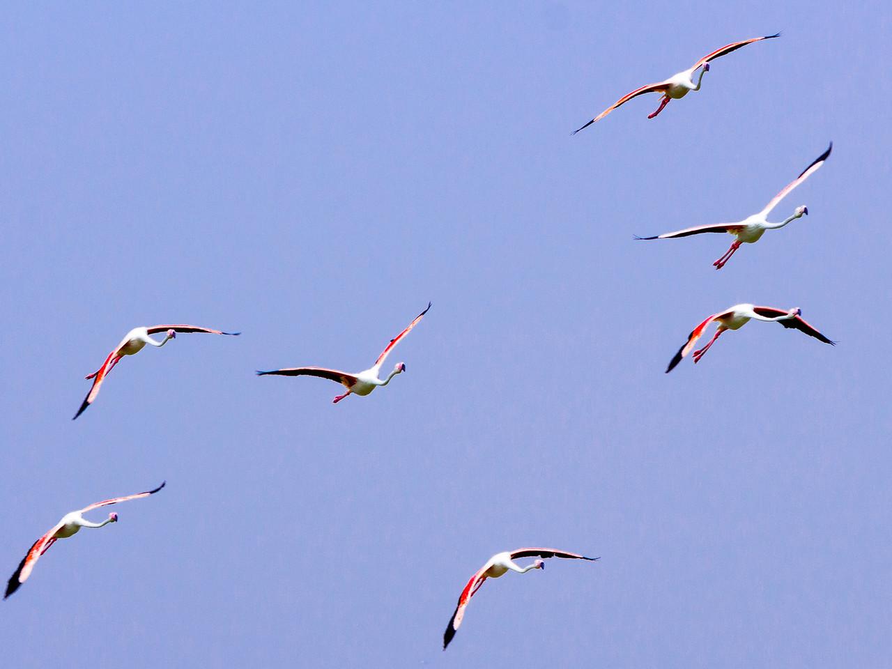 IMG_8040_Flamingoes_092 PS