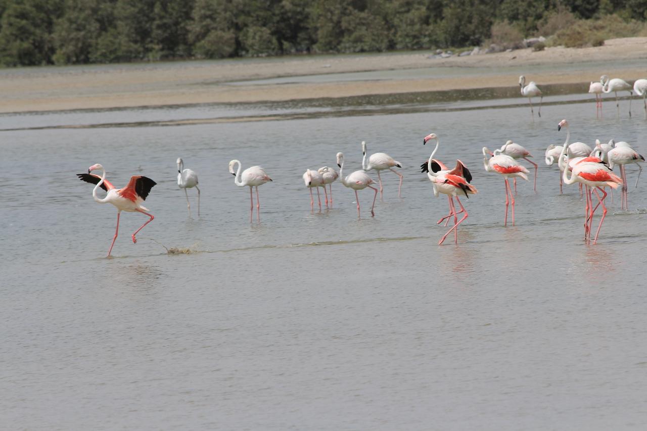 IMG_8045_Flamingoes_097