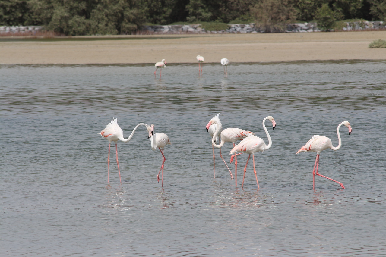 IMG_8020_Flamingoes_072