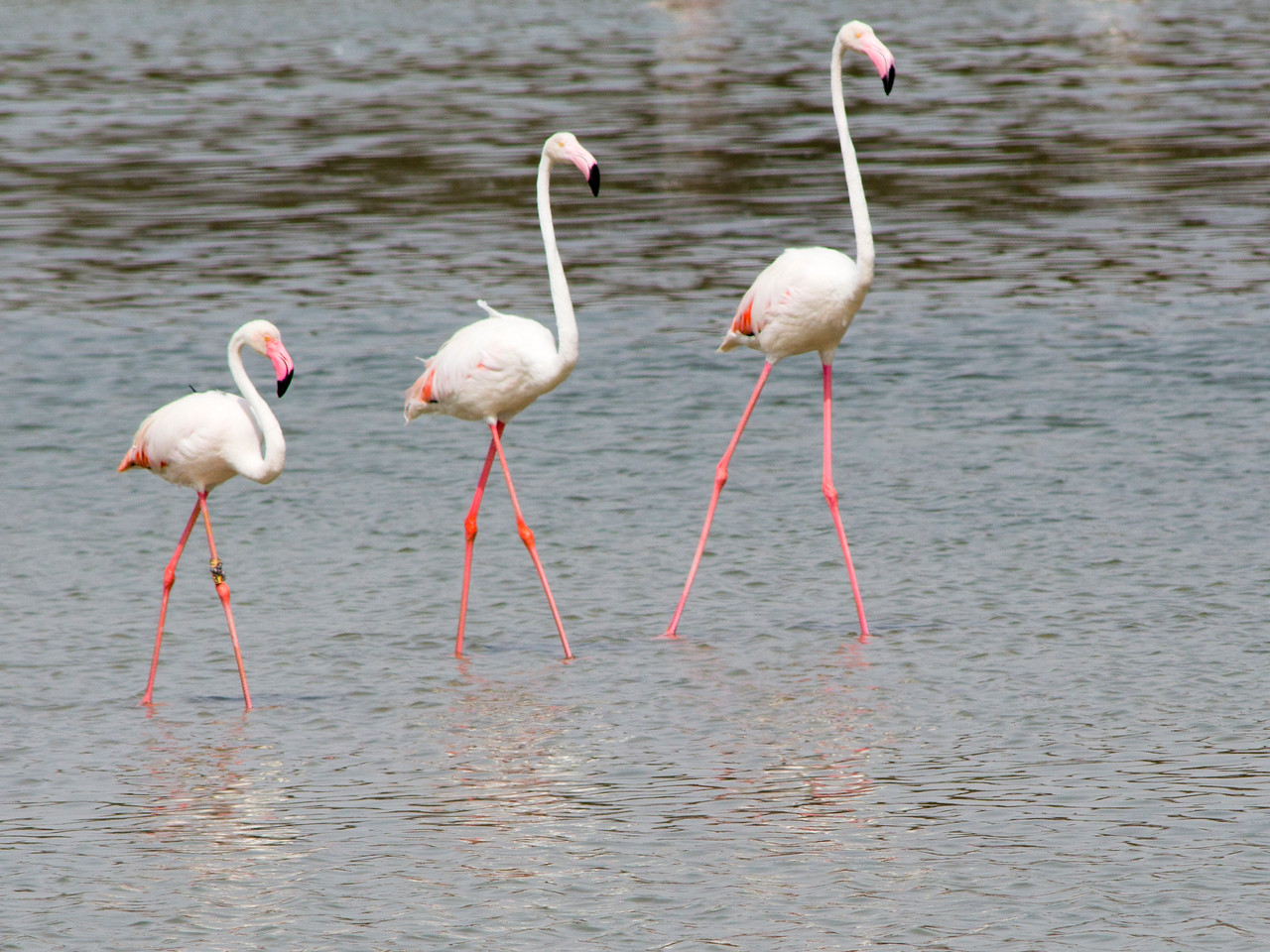 IMG_8004_Flamingoes_056 PS
