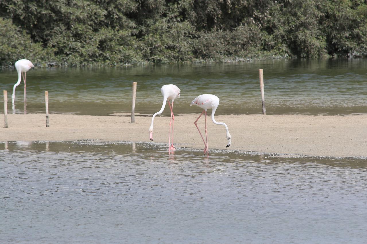 IMG_8046_Flamingoes_098