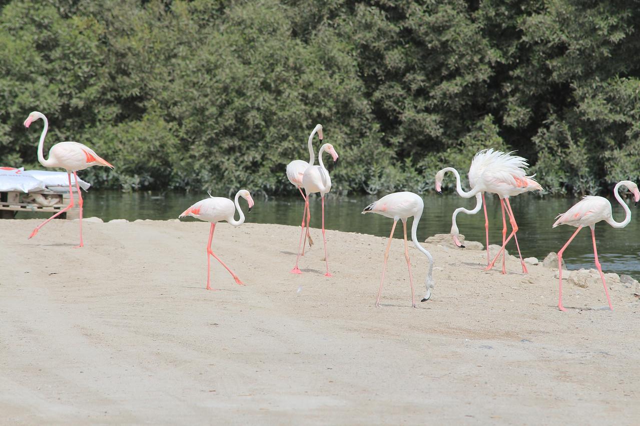 IMG_8049_Flamingoes_101