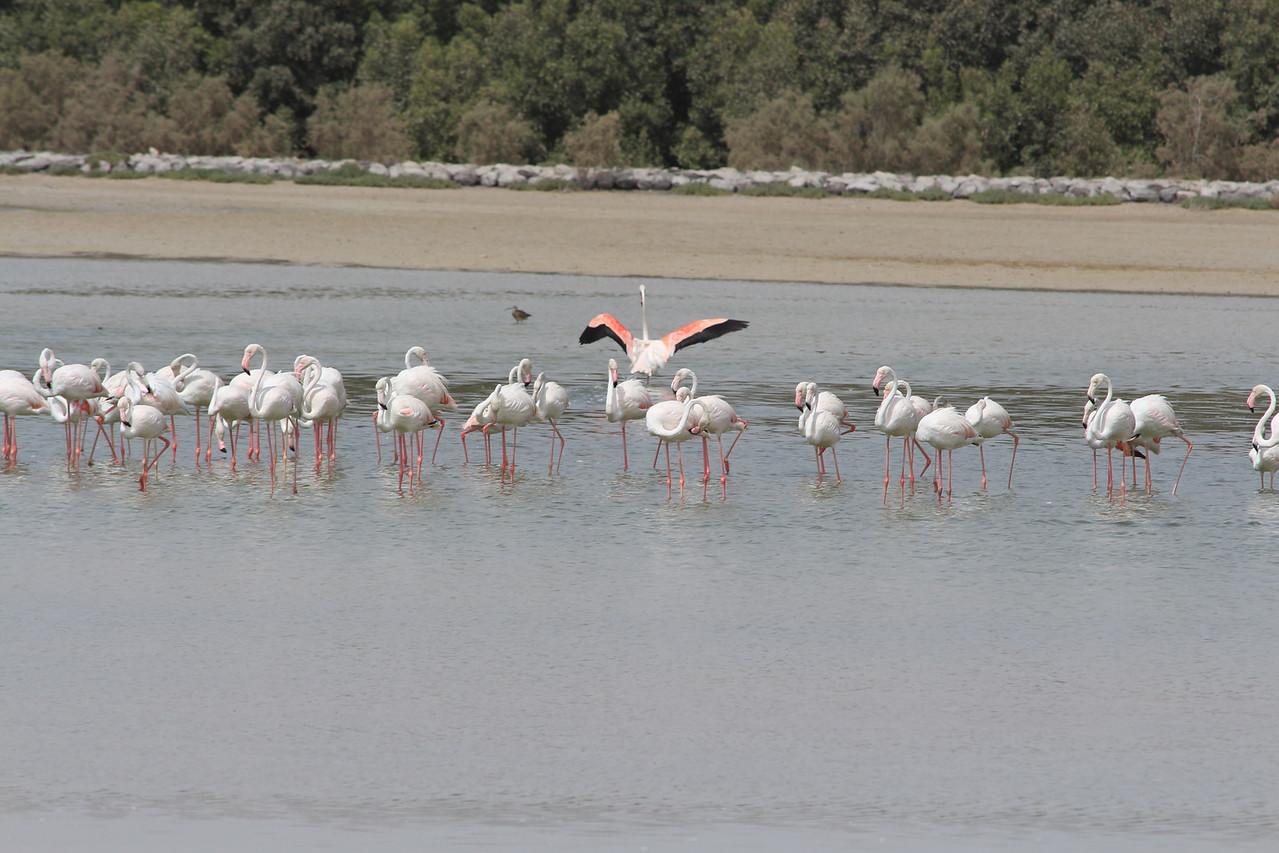 IMG_7975_Flamingoes_027