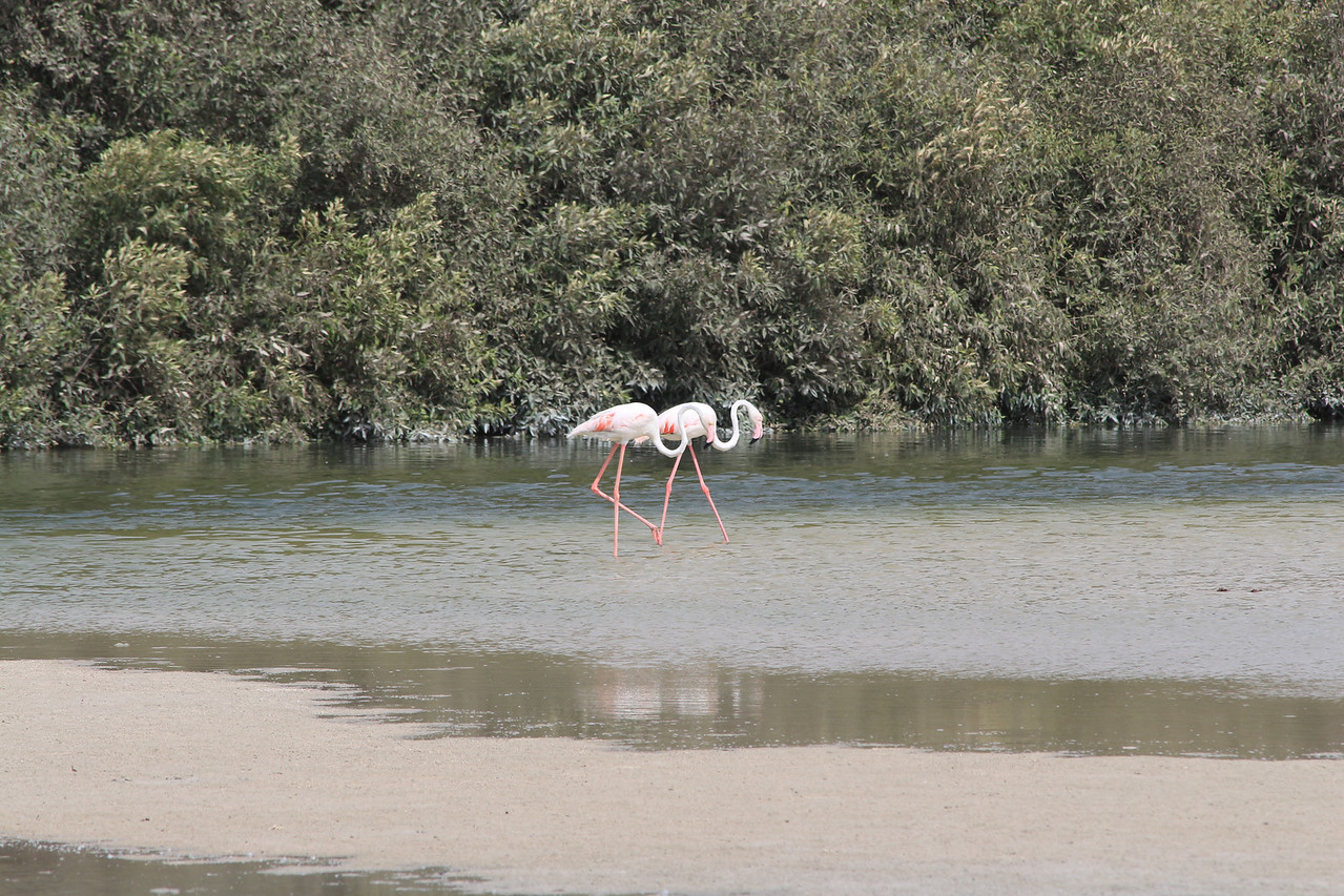 IMG_8027_Flamingoes_079