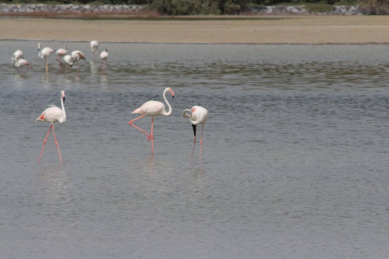 IMG_8048_Flamingoes_100