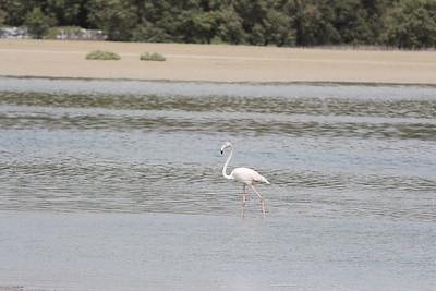 IMG_7958_Flamingoes_010