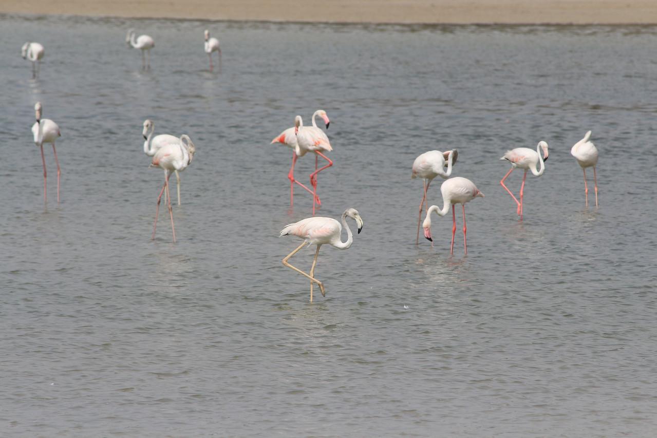 IMG_8092_Flamingoes_144