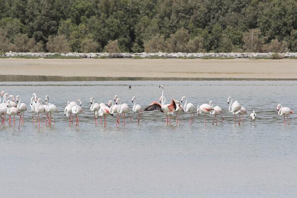 IMG_7996_Flamingoes_048