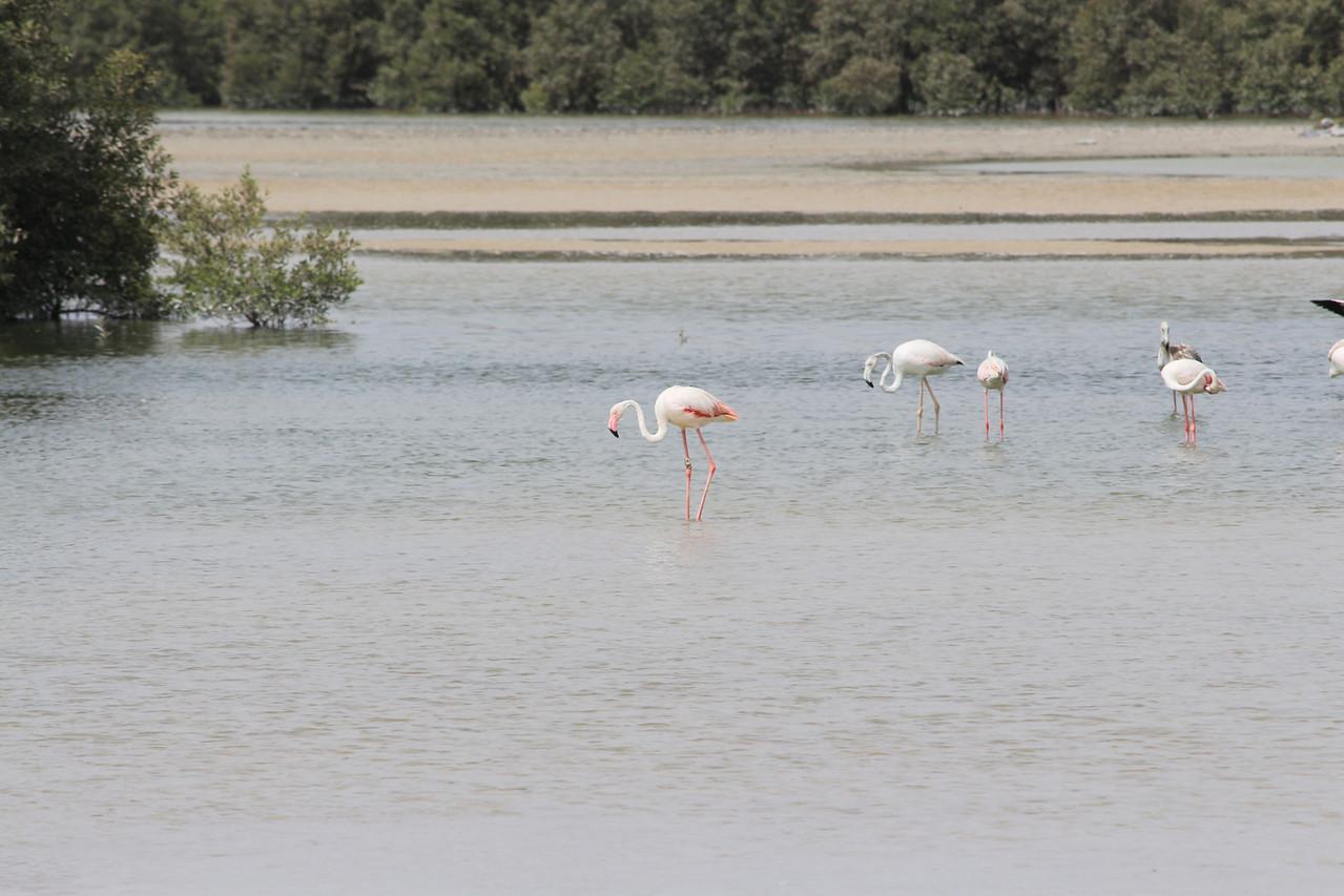 IMG_7991_Flamingoes_043