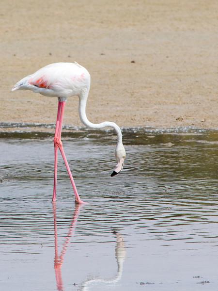 IMG_8055_Flamingoes_107 PS