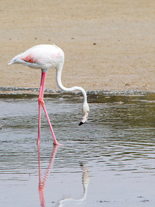 IMG_8055_Flamingoes_107 PS