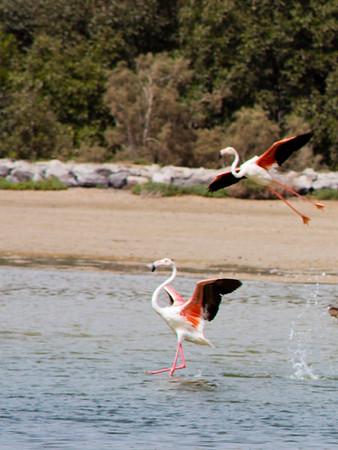 IMG_8086_Flamingoes_138 PS_1