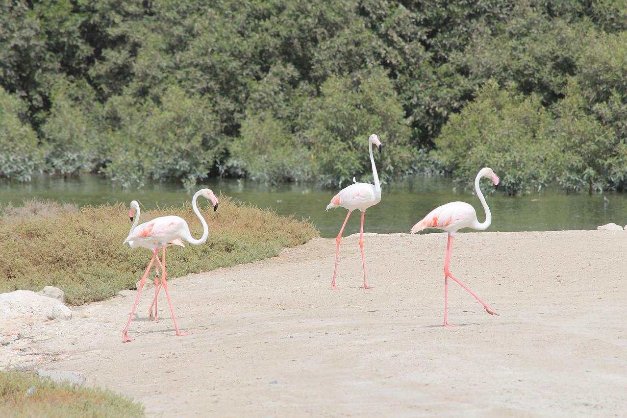 IMG_8014_Flamingoes_066