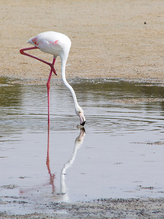 IMG_8056_Flamingoes_108 PS