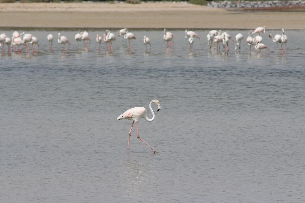 IMG_8031_Flamingoes_083