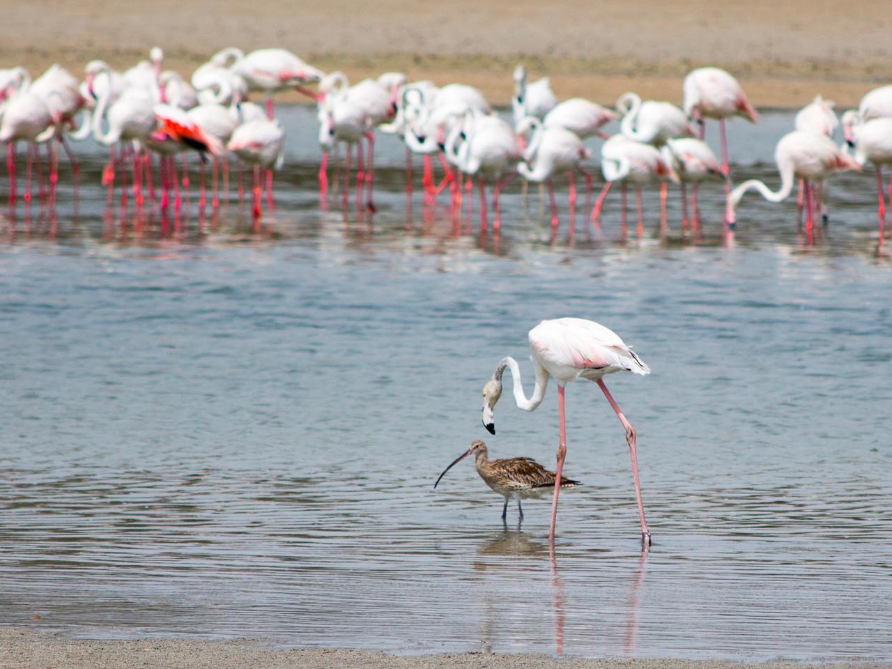 IMG_7961_Flamingoes_013 PS
