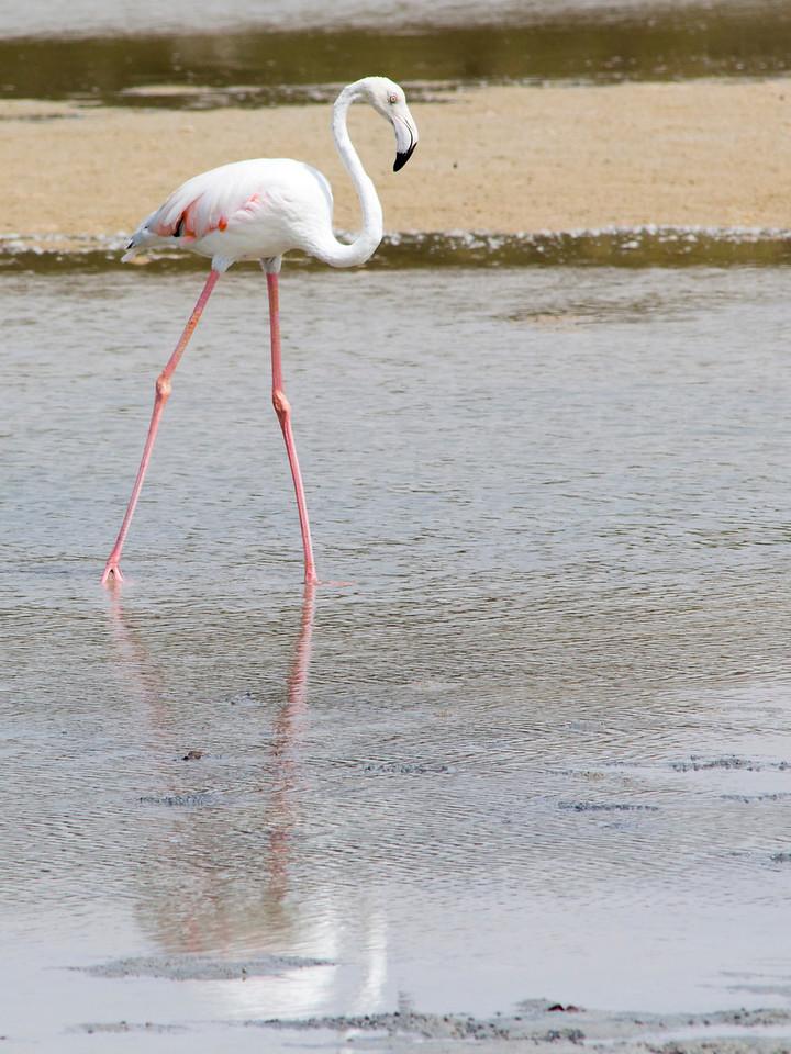IMG_8051_Flamingoes_103 PS