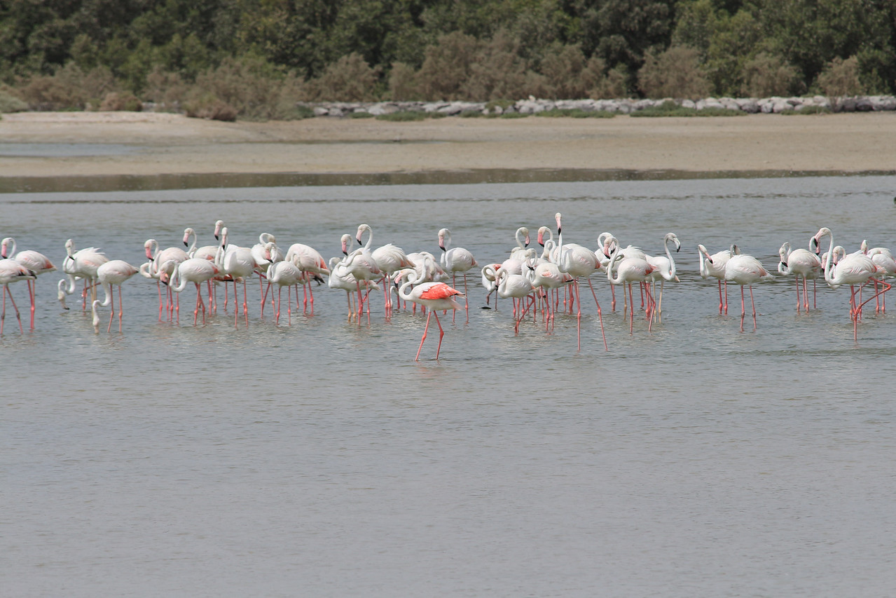 IMG_7984_Flamingoes_036