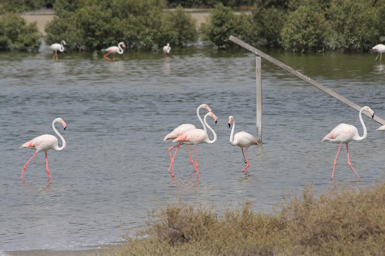 IMG_8047_Flamingoes_099