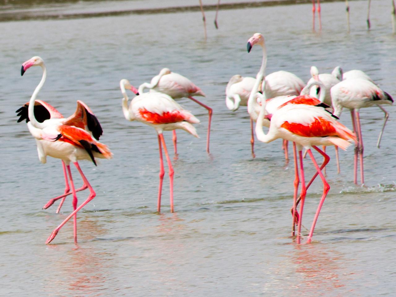 IMG_8045_Flamingoes_097 PS