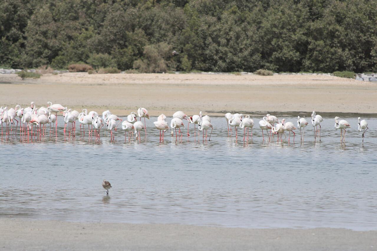 IMG_7960_Flamingoes_012