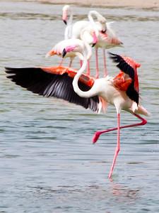 IMG_8075_Flamingoes_127 PS
