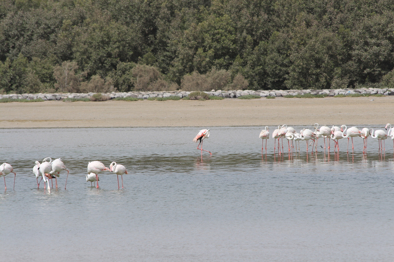 IMG_7978_Flamingoes_030