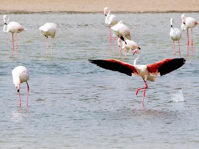 IMG_8079_Flamingoes_131 PS