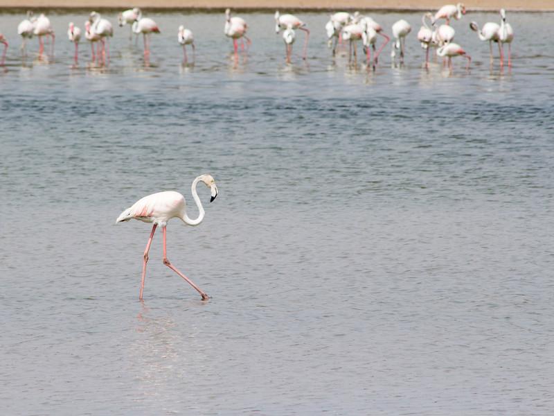 IMG_8031_Flamingoes_083 PS