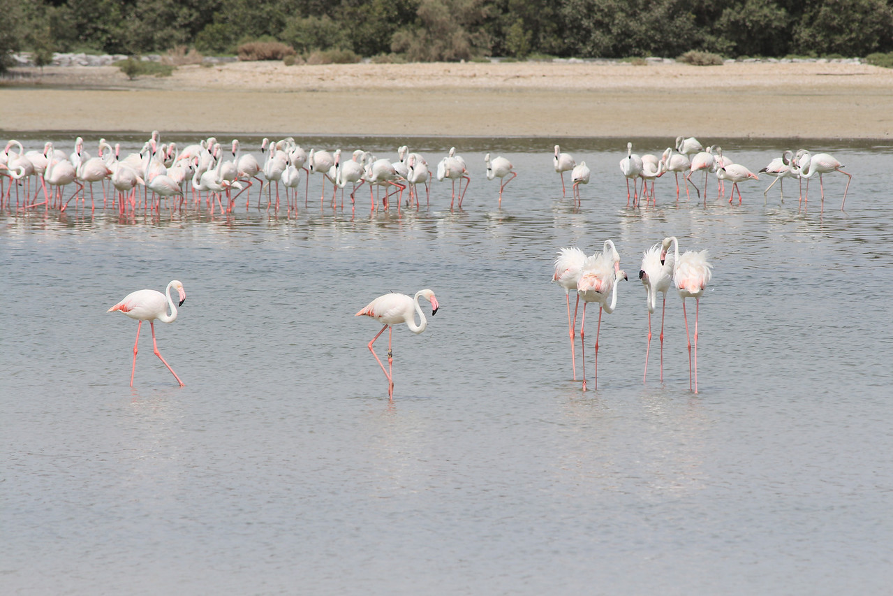 IMG_7997_Flamingoes_049