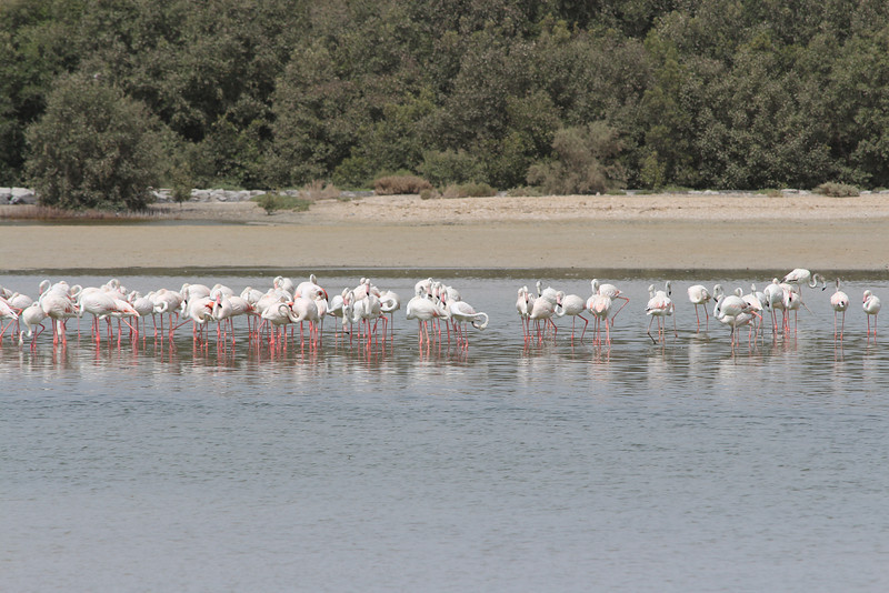 IMG_7981_Flamingoes_033
