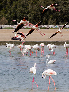 IMG_8072_Flamingoes_124 PS_1