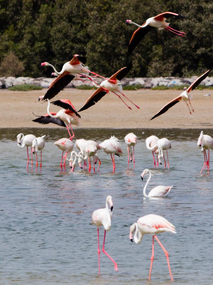 IMG_8072_Flamingoes_124 PS_1