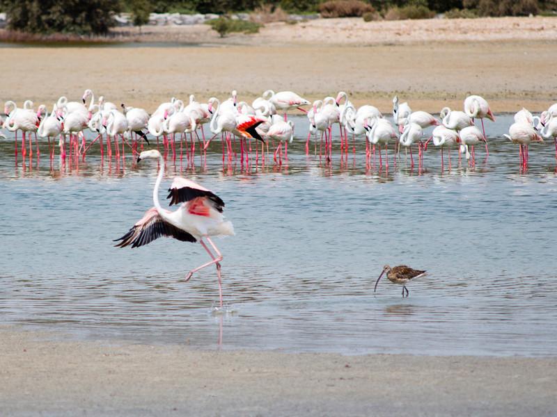 IMG_7962_Flamingoes_014 PS
