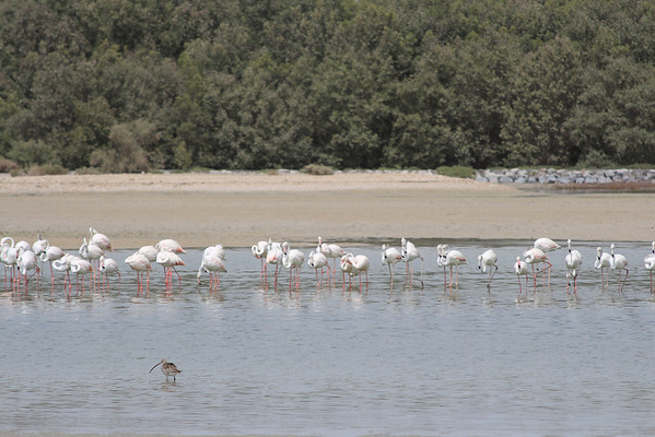 IMG_7956_Flamingoes_008