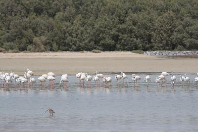 IMG_7956_Flamingoes_008