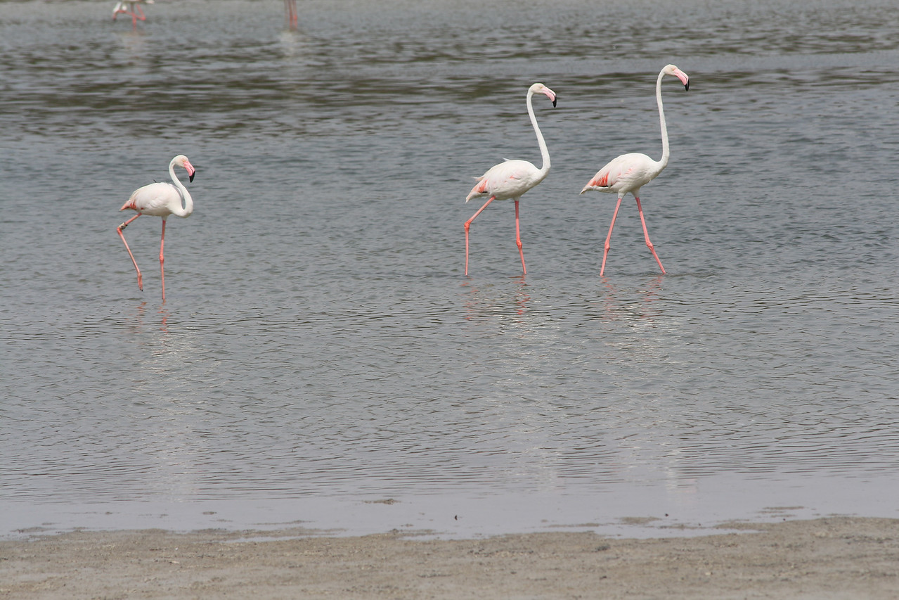 IMG_8007_Flamingoes_059