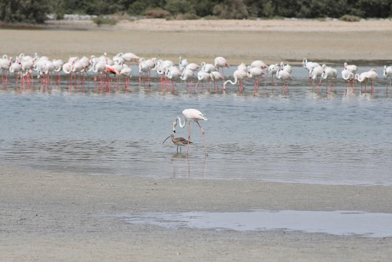 IMG_7961_Flamingoes_013