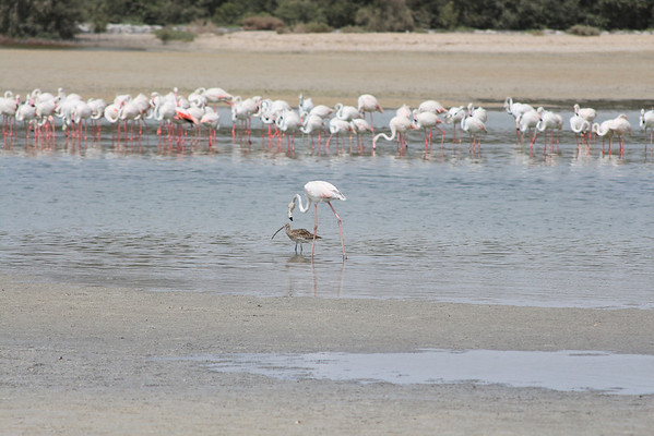 IMG_7961_Flamingoes_013