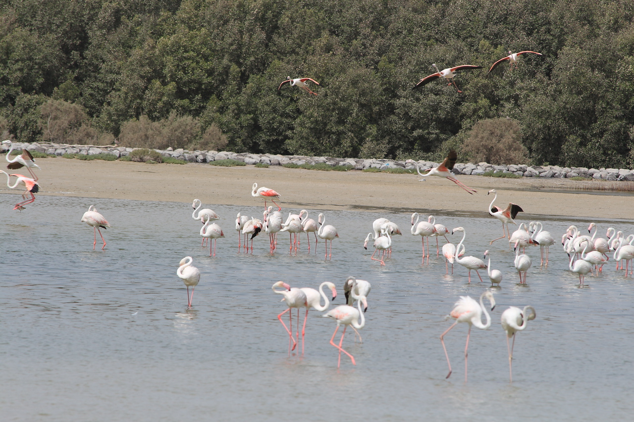 IMG_8085_Flamingoes_137